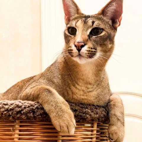 Описание и содержание кошек породы каракет