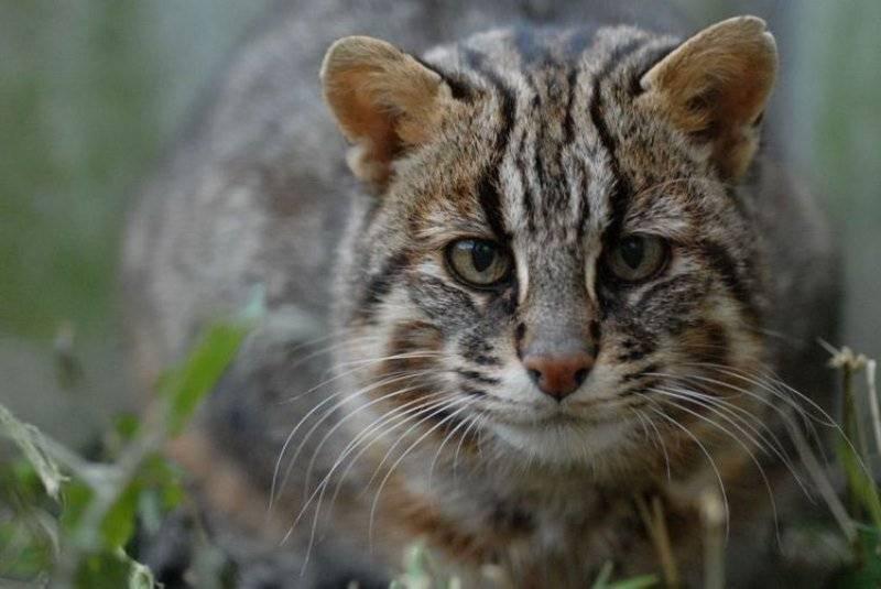 Амурский лесной кот – совершенное создание, подвид бенгальской кошки