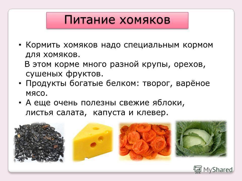 Чем кормить хомяка: виды грызунов для содержания в домашних условиях, какими продуктами можно кормить