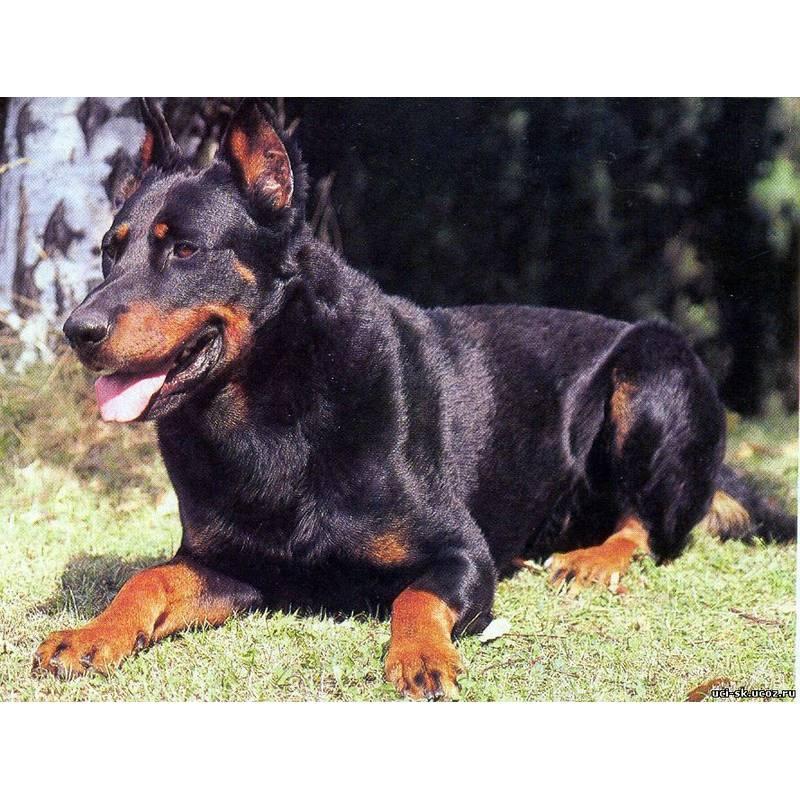 Босерон (французская овчарка): описание породы - моя собака